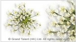 Mini Natural Gypsophila Pressed Flowers